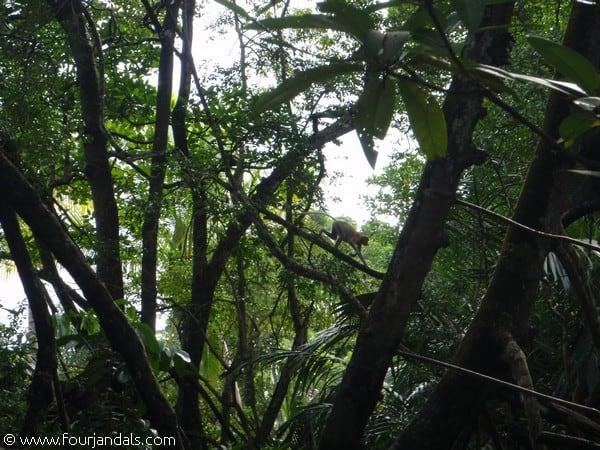 Monkeys in Brunei
