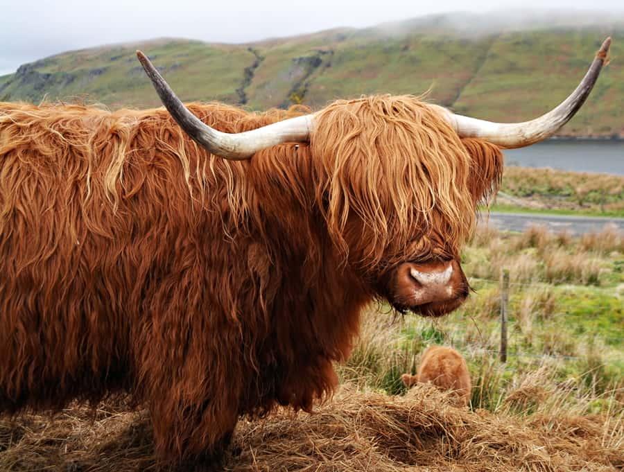 Pentland Hills Regional Park, Highland Cow and calf