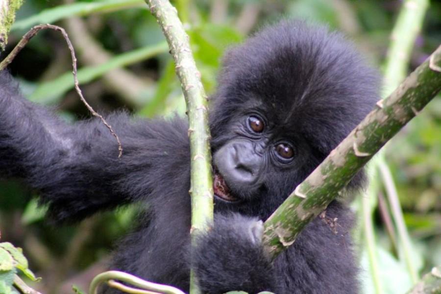 Oasis Overland African Gorillas