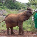 The David Sheldrick Elephant Orphanage in Nairobi