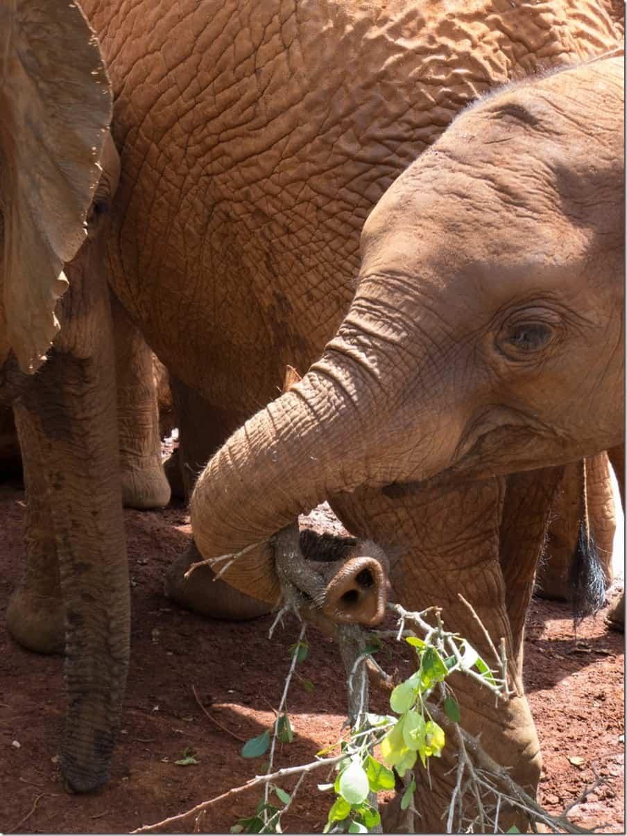 David Sheldrick Elephant Orphanage in Nairobi (3)