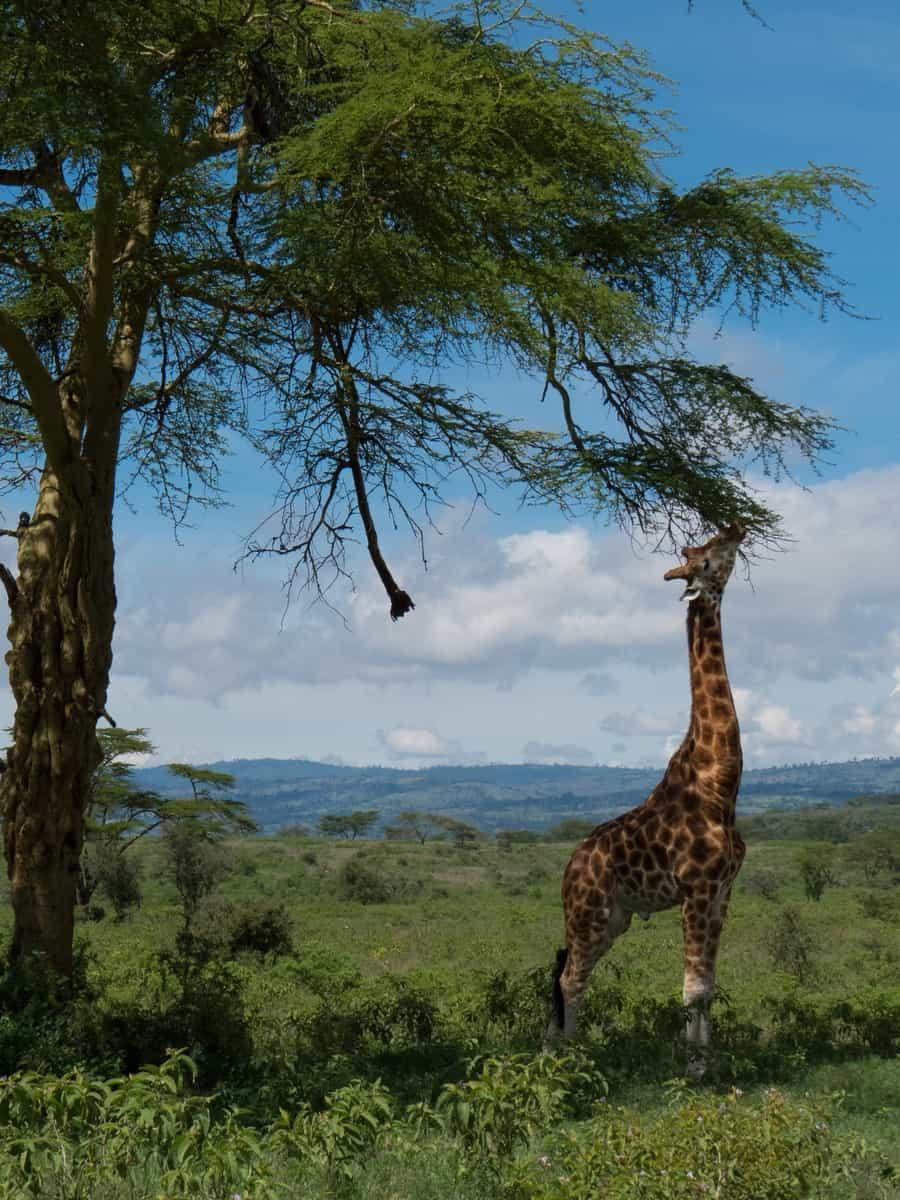 Giraffe Eating Acacia Tree Lake Nakuru