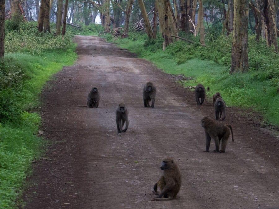 Lake Nakuru Game Park Baboons