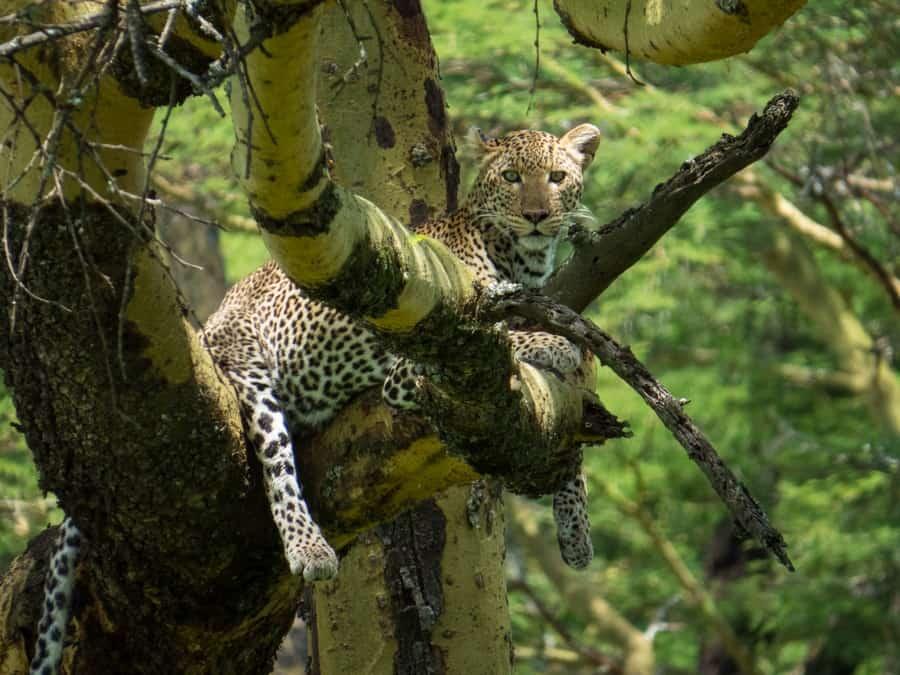 Leopard in Tree Lake Nukuru Game Park Kenya