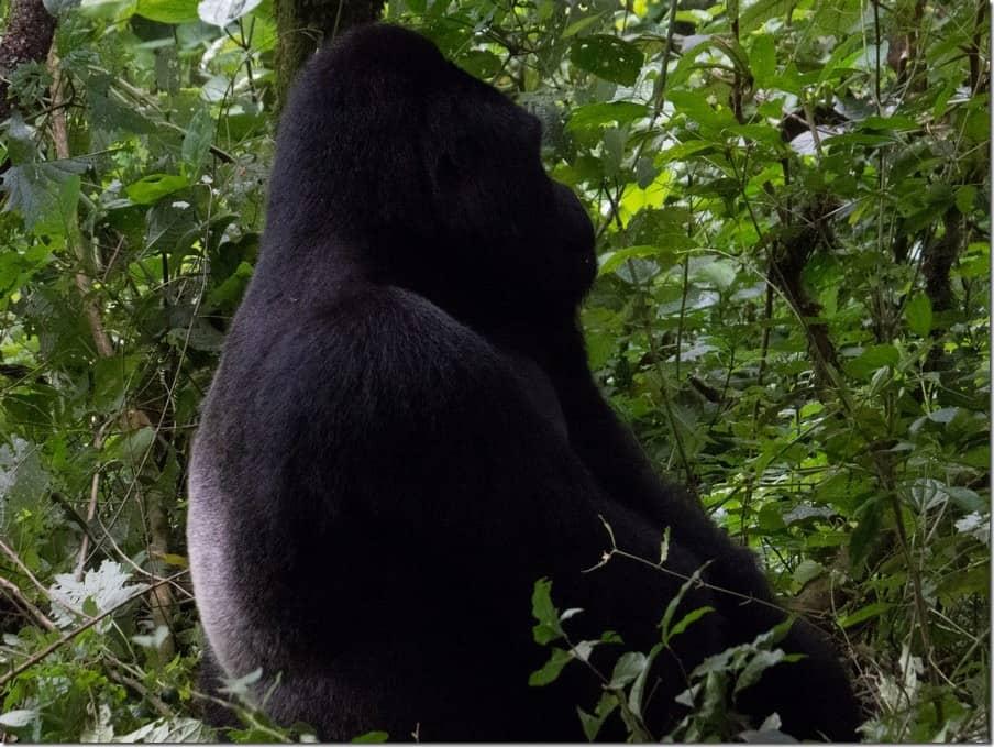 Male Silverback Mountain Gorilla in Uganda