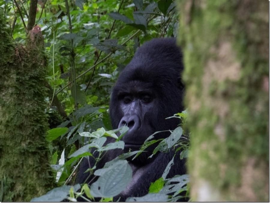 Mountain-Gorillas-in-Uganda_thumb.jpg