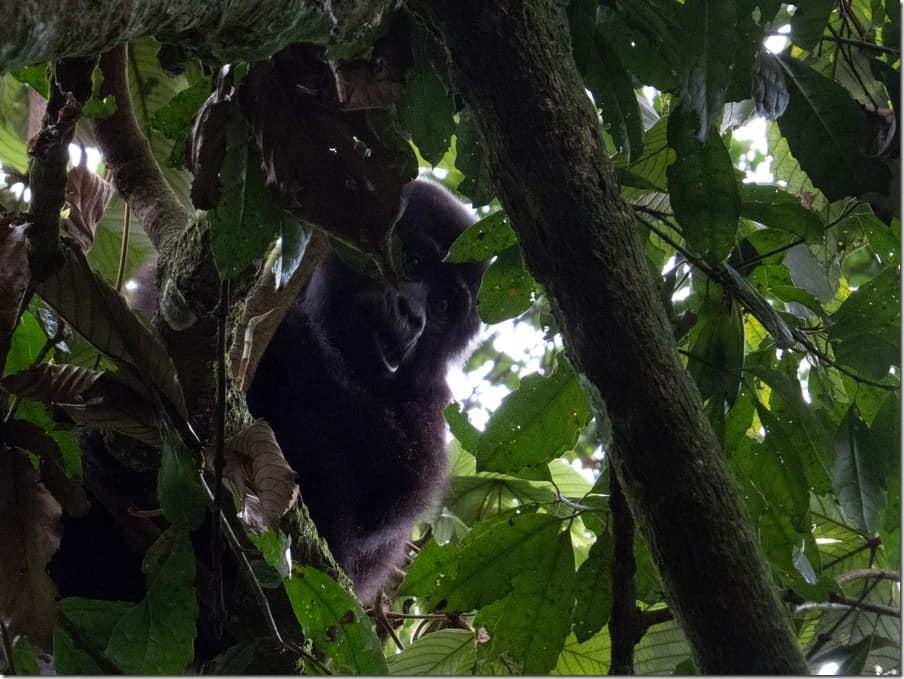 New born Mountain Gorilla in Uganda