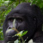 Gorilla Trekking in Uganda – Bwindi Impenetrable Forest