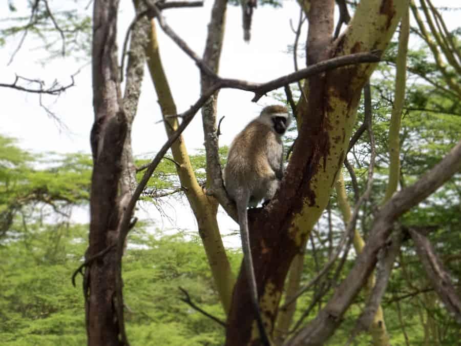Vervet Monkey in Lake Nakuru National Park