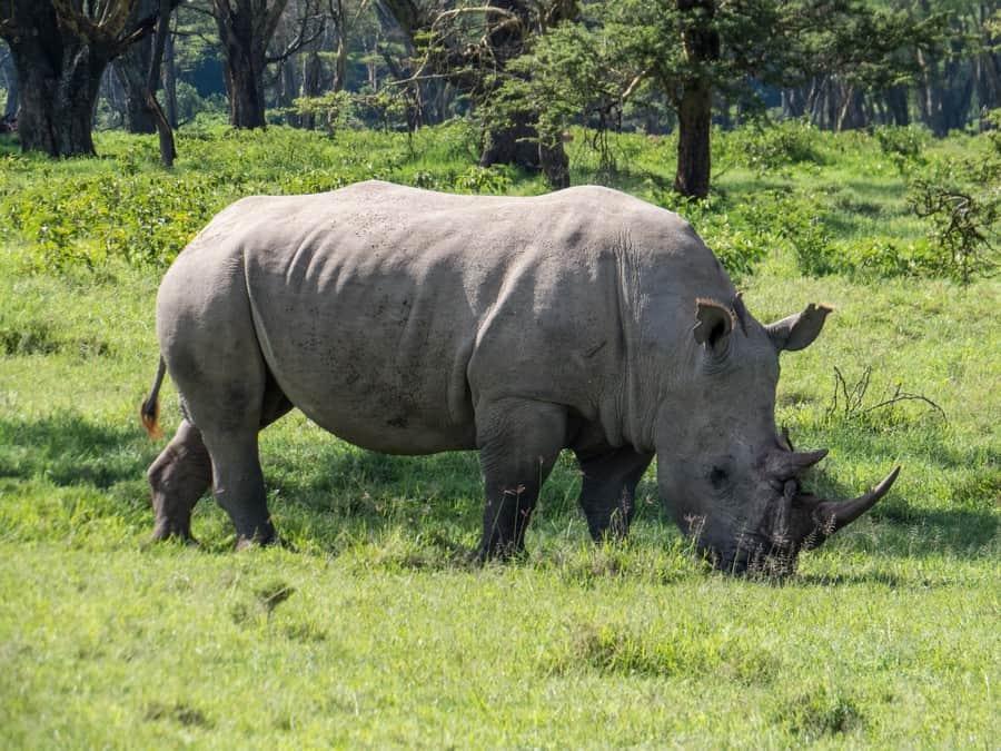 White Rhino Lake Nakuru Game Park Kenya