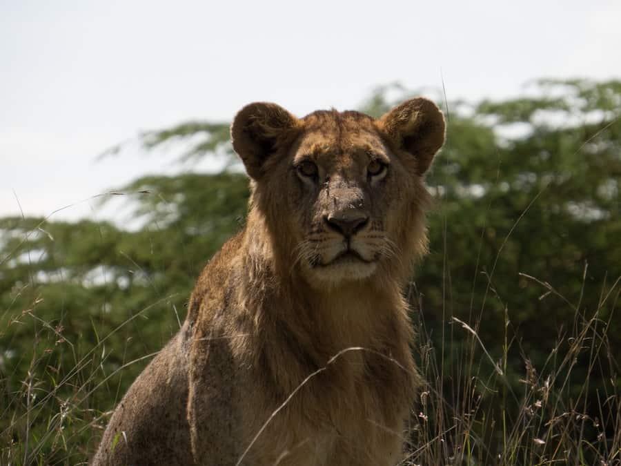 Young Male Lion Lake Nakuru Kenya