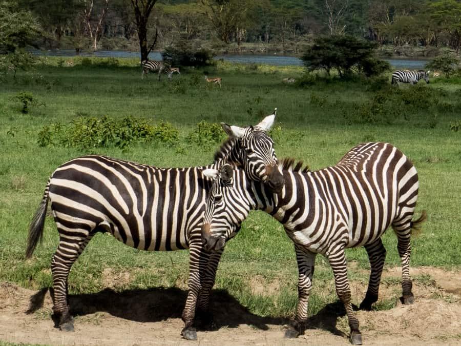 Zebra Fight Lake Nakuru Game Park Kenya