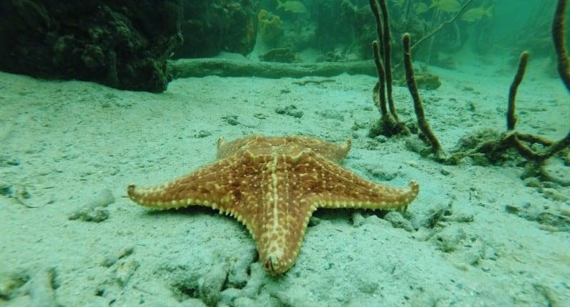 Large starfish at Bocas del Toro
