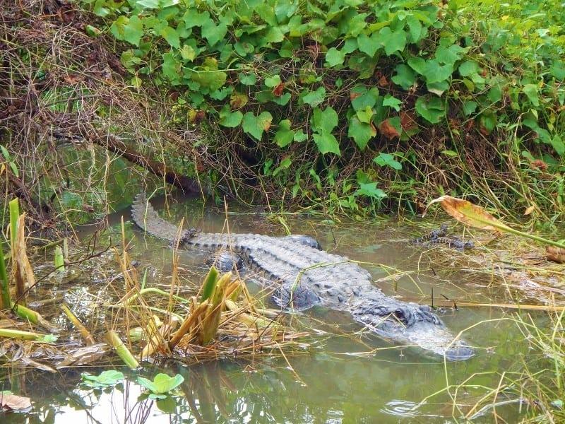 Alligator and babies at Everglades Alligator Farm